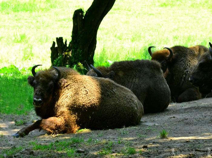 3 rezervatia de zimbri hateg -hoinariromani